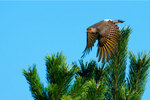 Yellow shafted flicker in flight
