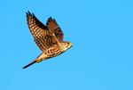 Merlin in flight, fall migration
