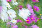 Autumn anemones in wind