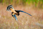 Northern harrier hunting in autumn