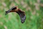 Northern harrier flight