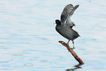 American coot with raised wings