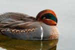 Green-winged teal up close