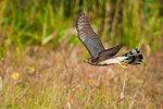 Cooper's hawk hunting at pond's edge