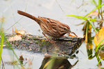 Song sparrow with centipede prey