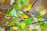 Yellow-rumped warbler in autumn