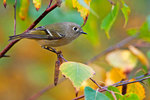 Ruby crowned kinglet in autumn
