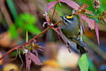 Golden-crowned kinglet in October