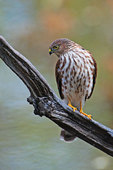Sharp-shinned hawk on perch