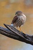 Sharp-shinned hawk in late October