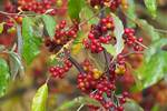 Autumn olive berries in late October