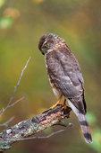 Sharp-shinned hawk hunts from perch