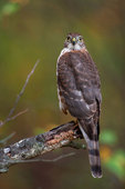 Sharp-shinned hawk look-out