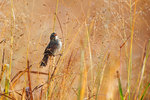 Swamp sparrow among switch grass