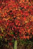 Sweetgum tree  in October