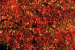 Sweetgum foliage in October