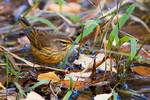 Palm warbler in fall