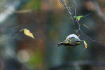 Golden-crowned kinglet foraging in late autumn