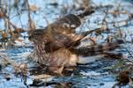 Sharp-shinned hawk bathing