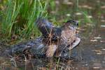 Bathing Cooper's hawk