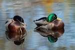 Two drake mallards rest on pond