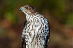 Wild juvenile Cooper's hawk close up