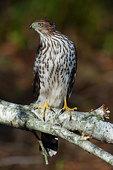 Cooper's hawk hunts from perch