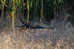 Northern Harrier rising