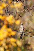 Sharpie in autumn birch woods