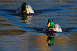 Mallard chase on autumn pond