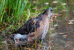Cooper's hawk taking bath