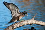 Drake wood duck in transition plumage