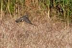 Sharp-shinned hawk hunting