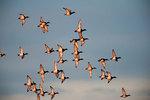 Scaup ducks fly at last light