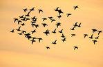 Scaup flock flight silhouette against golden sky