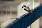 Loggerhead shrike perched on nature boardwalk