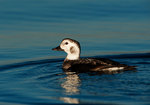 Female long-tailed duck in late November