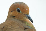 Mourning dove with snowflake