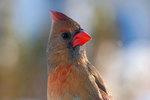 Female northern cardinal up close