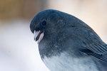 Dark-eyed junco close-up