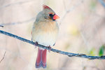 Female northern cardinal, pastel colors