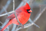Northern cardinal, bright-red male
