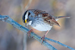 White throated sparrow in winter woods