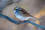 White-throated sparrow portrait