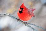 Male cardinal portrait