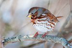 Fox sparrow in January