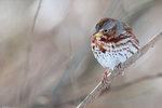 Fox sparrow in winter woods