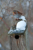 Fox sparrow and nest box in winter