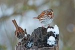 Fox sparrow and white-throated sparrow in January