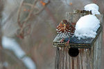 Fox sparrow in early January
